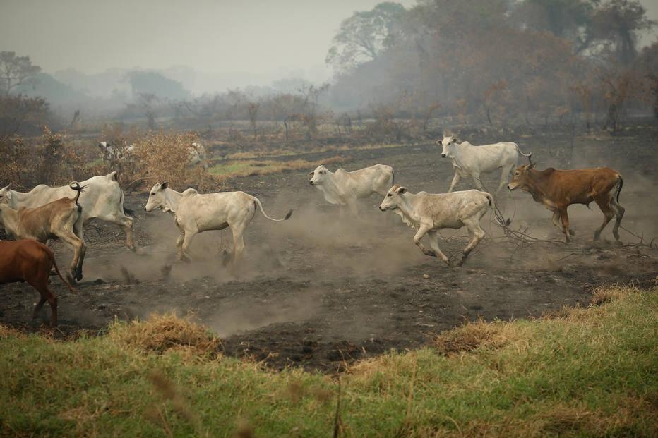 Gado fugindo das queimadas no Pantanal: prejuízo de monta aos criadores